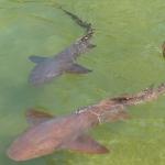 Ancotage-Yachtclub-Sharks_3.JPG