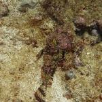 Scorpionfisch_2.JPG