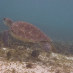 Snorkel_Tobago_12.JPG