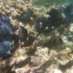Snorkel_Tobago_Dutch_2.JPG