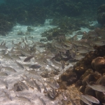 Snorkel_Tobago_II_03.JPG