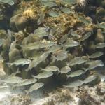 Snorkel_Tobago_II_04.JPG