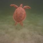 Turtle-_Dive_02.JPG