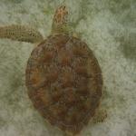 Turtle-_Dive_04.JPG