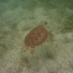 Turtle-_Dive_05.JPG