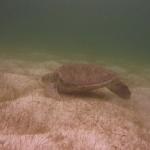 Turtle-_Dive_07.JPG