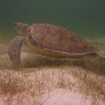 Turtle-_Dive_08.JPG
